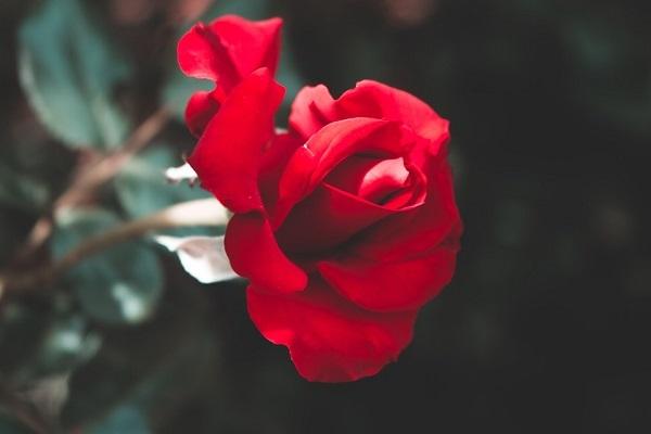 Chiêm bao thấy hoa hồng