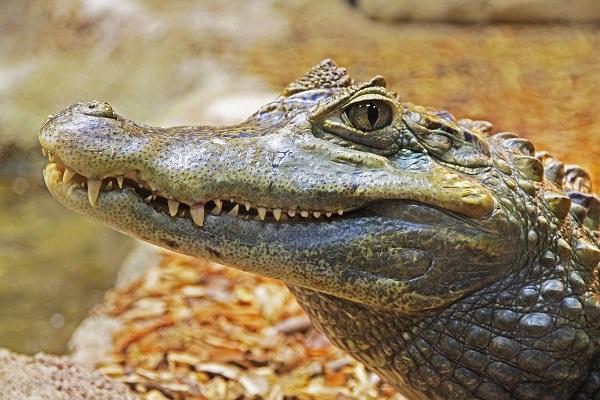 Nằm mơ thấy cá sấu là điềm gì? Đánh đề bao nhiêu?-1